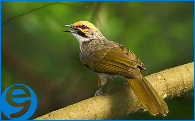 Cara Sukses Ternak Burung Cucak Rowo Bagi Pemula, mengapa cucak rowo mahal, lagu suara cucak rowo super ropel mp3, harga burung cucak rowo anakan, download mp3 gratis cucak rowo ropel, penangkaran cucak rowo