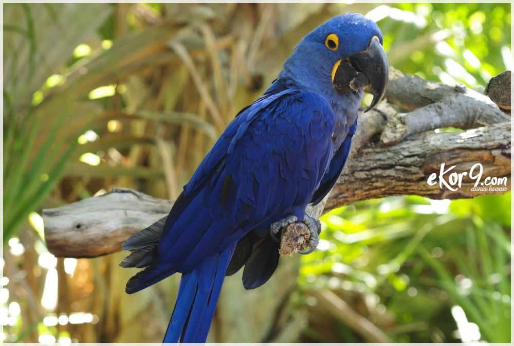 hyacinth macaw, hyacinth macaw dijual, harga blue macaw, spix macaw, macaw biru, ekor9, ara ararauna, kakapo, burung macaw, blue Macaw parrot bird tropical