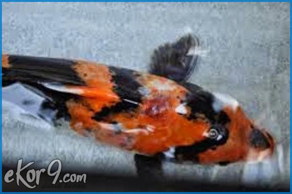 artikel koi, jamur pada ikan koi, ikan koi mati, cara mengobati ikan koi sakit, obat ikan koi sakit, penyakit ikan koi sirip merah, obat penyakit ikan koi, penyakit jamur pada ikan, ciri ikan komet sakit, obat jamur ikan hias, obat ikan hias air tawar, macam-macam penyakit pada ikan, cara menghilangkan jamur pada kulit ikan, obat alami untuk ikan hias, obat ikan jamuran, gesund blue magic