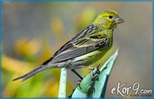 Tips memilih Burung Kenari Berkualitas