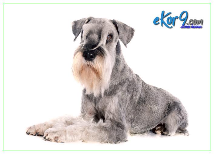cara merawat anjing miniature schnauzer, dijual anakan anjing schnauzer di surabaya, dijual anjing schnauzer di surabaya, harga anak anjing schnauzer, harga anjing miniature schnauzer, harga anjing schnauzer, hibah anjing schnauzer