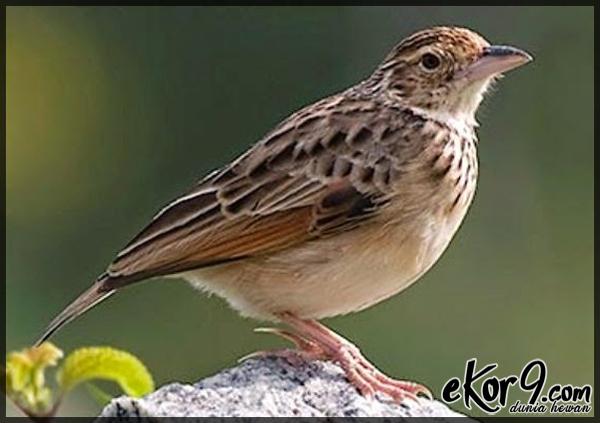 Jenis Burung Lokal Tanah Air Yang Jadi Pengisi Suara Lomba Burung Berkicau Dunia Fauna Hewan Binatang Tumbuhan Dunia Fauna Hewan Binatang Tumbuhan