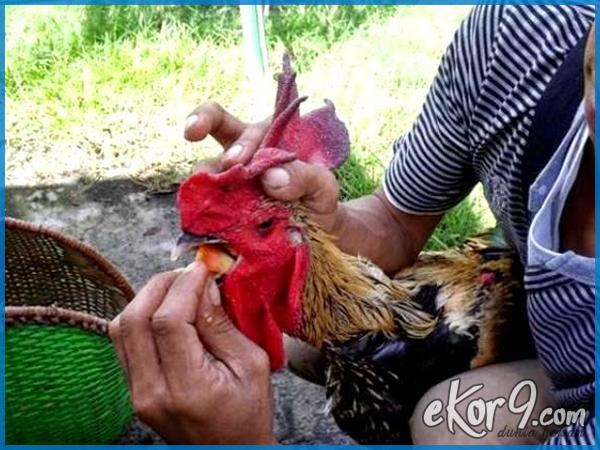 melatih suara ayam pelung, ayam pelung mp3, cara merawat ayam pelung, ayam pelung cianjur, harga ayam pelung, pakan ayam pelung, harga ayam pelung cianjur, suara ayam pelung mp3 download