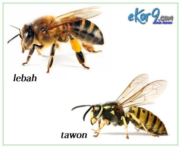 apa beda tawon dan lebah, apa beda tawon dengan lebah, apa beda tawon sama lebah, apa bedanya tawon dan lebah, apa bedanya tawon dengan lebah, apa bedanya tawon sama lebah, apa perbedaan lebah dengan tawon, apa perbedaan tawon dan lebah