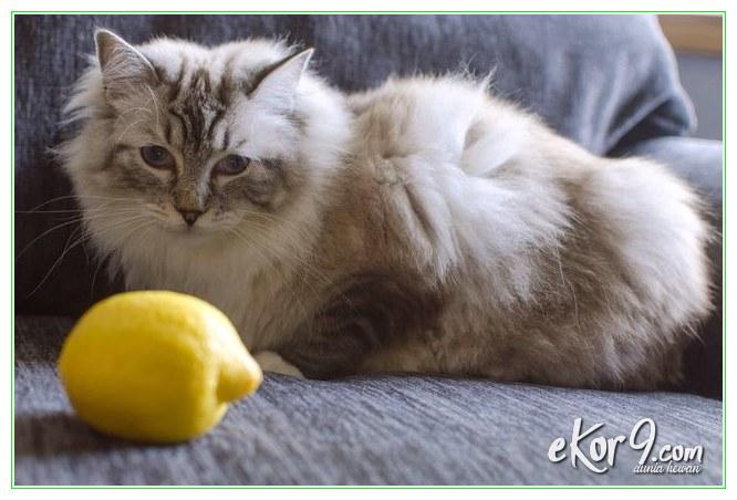 Menghilangkan Kutu Kucing Dengan Cara Mudah Dan Praktis Dunia Fauna Hewan Binatang Tumbuhan