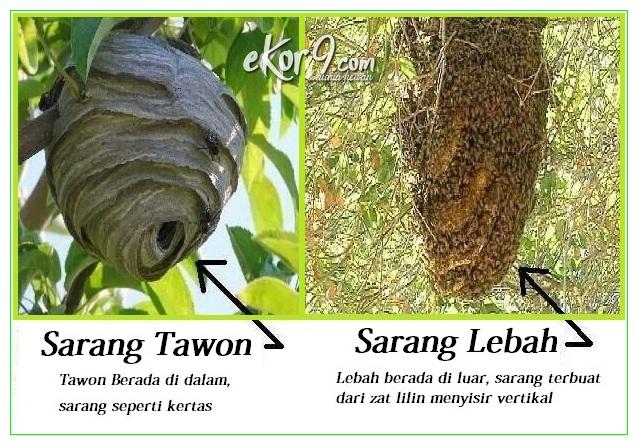 apa perbedaan tawon dengan lebah, beda madu tawon dan madu lebah, beda sarang tawon dan lebah, beda tawon sama lebah, bedanya tawon dan lebah, bedanya tawon dengan lebah, bedanya tawon sama lebah, perbedaan antara lebah dan tawon, perbedaan antara lebah dengan tawon