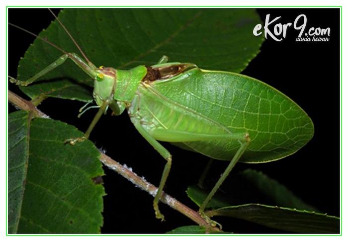 binatang menyerupai daun, binatang seperti daun, binatang berbentuk daun, binatang dari daun, binatang bentuk daun
