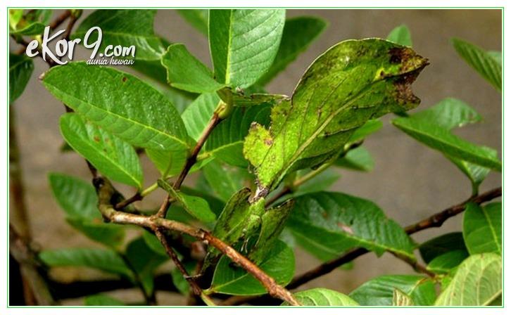 binatang seperti daun, binatang berbentuk daun, binatang dari daun, binatang bentuk daun