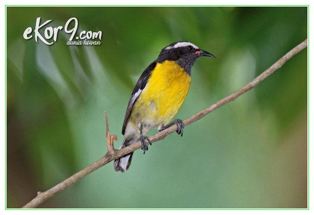 burung kecil di dunia, burung kecil termahal di dunia, burung paling kecil di dunia, burung terkecil di dunia, dunia burung kecil