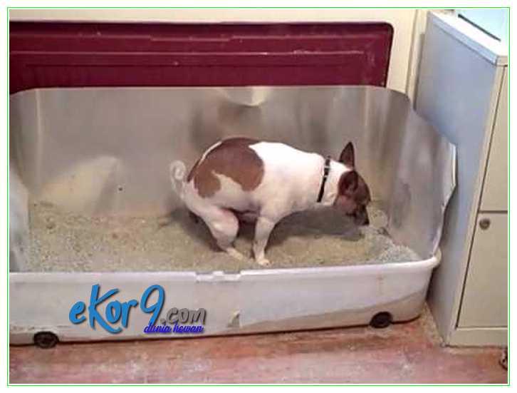 cara melatih anjing supaya tidak kencing sembarangan, cara melatih anjing supaya tidak pipis sembarangan, cara melatih anjing untuk buang air di kamar mandi, cara melatih anjing pup di kamar mandi, cara mengajari anak anjing pipis, melatih anak anjing, melatih anak anjing kencing, melatih anak anjing pipis, melatih anjing, melatih anjing agar tidak kencing sembarangan, melatih anjing agar tidak pipis sembarangan, melatih anjing buang air di kamar mandi