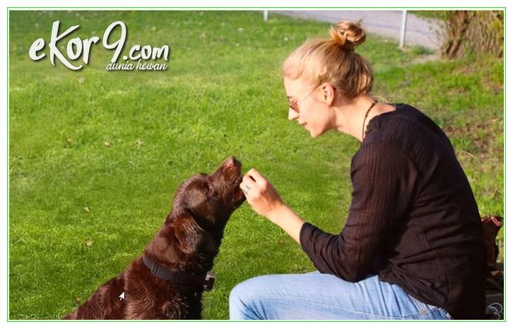 cara melatih anjing supaya patuh, cara melatih anjing supaya menggonggong, melatih anjing agar tidak menggonggong, cara melatih anjing umur 3 bulan lebih, cara melatih otot anjing, cara melatih mental anjing, tips melatih anjing, melatih anjing pitbull berburu, melatih anjing pitbull petarung, video melatih anjing, cara melatih kepatuhan pada anjing, cara melatih anjing galak