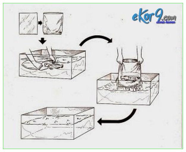 cara memindahkan arwana besar, cara memindahkan arwana ke akuarium, cara memindahkan arwana ke akuarium baru, cara memindahkan arwana ke akuarium lain, cara memindahkan arwana ke aquarium, cara memindahkan ikan arwana, cara memindahkan ikan arwana ke akuarium baru, memindahkan arwana, memindahkan ikan arwana, cara memindahkan arwana