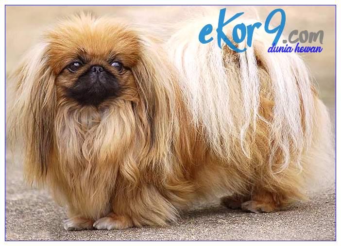 Sifat Karakter Dan Cara Perawatan Anjing Pekingese Si Barongsai China Dunia Fauna Hewan Binatang Tumbuhan Dunia Fauna Hewan Binatang Tumbuhan
