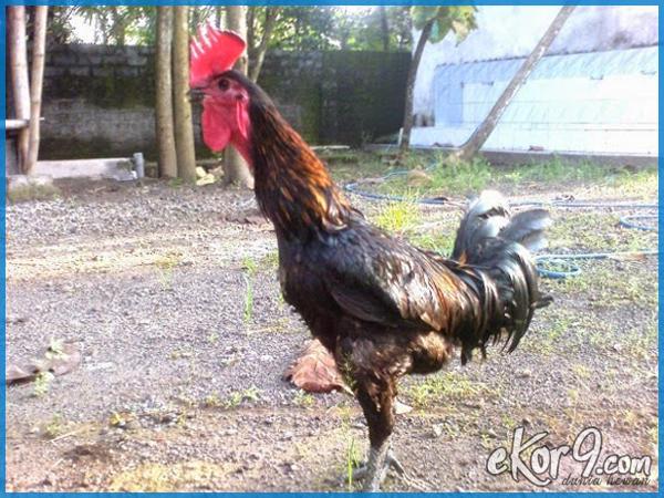 melatih ayam pelung, memelihara ayam pelung, melatih suara ayam pelung, tips memelihara ayam pelung, cara tepat merawat dan melatih ayam pelung, pakan ayam pelung, harga ayam pelung, makanan ayam pelung