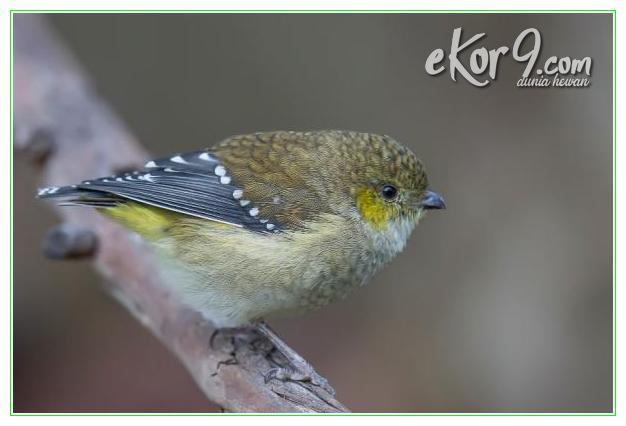 apakah burung hidup yang telurnya paling kecil di dunia, burung kecil di dunia, burung hidup yang telurnya paling kecil di dunia, burung kecil di dunia, burung kecil dunia, burung kecil termahal di dunia