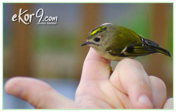 burung terkecil di dunia, burung terkecil di dunia adalah, burung yang kecil di dunia, burung yang paling kecil di dunia, burung yg paling kecil di dunia