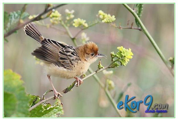 burung paling terkecil di dunia, burung kecil lucu, burung kecil yang lucu di dunia