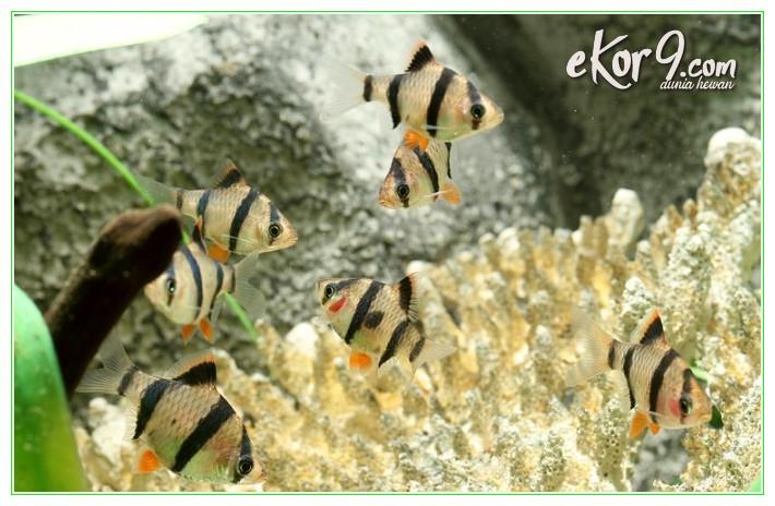 ikan sumatra pemakan kutu, ikan sumatra pemakan kutu koi, ikan sumatra tiger, ikan sumatra tiger barb, ikan sumatran tiger, ikan tigerfish sumatra, jual ikan tiger sumatera, koi ikan sumatra, ikan sumatra koi, ikan barbus sumatera