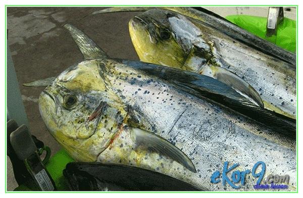 14 Jenis Ikan Yang Sebaiknya Jangan Kamu Makan Dunia Fauna Hewan Binatang Tumbuhan Dunia Fauna Hewan Binatang Tumbuhan