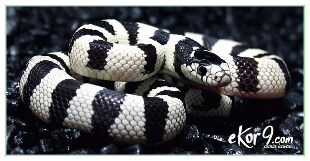 ular peliharaan yang tidak berbisa, ular peliharaan yg murah, ular tidak berbisa untuk peliharaan