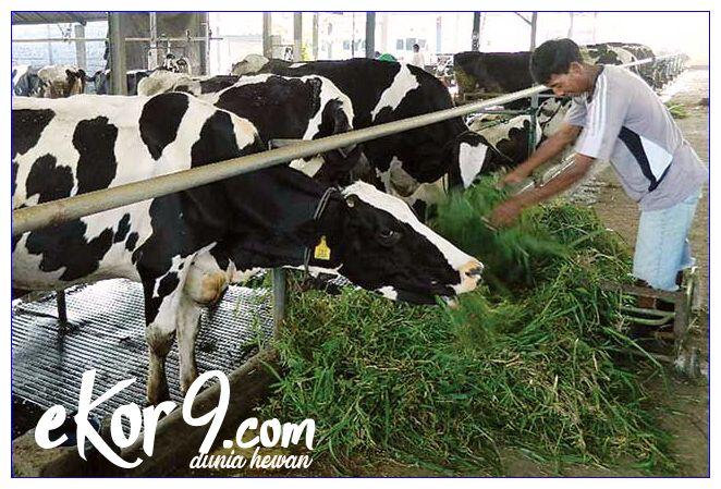 cara fermentasi pakan sapi perah, cara membuat pakan fermentasi untuk sapi perah, jurnal kebutuhan nutrisi sapi perah laktasi, jurnal manajemen pakan sapi perah pdf, jurnal manajemen pemeliharaan sapi perah pdf, kebutuhan nutrisi sapi perah laktasi, kebutuhan pakan sapi perah laktasi, kebutuhan pakan sapi perah pdf, komposisi pakan sapi perah laktasi, konsumsi pakan sapi perah pdf, manajemen pakan sapi perah dara, manajemen pakan sapi perah laktasi, manajemen pakan sapi perah laktasi pdf, manajemen pakan sapi perah laktasi pdf
