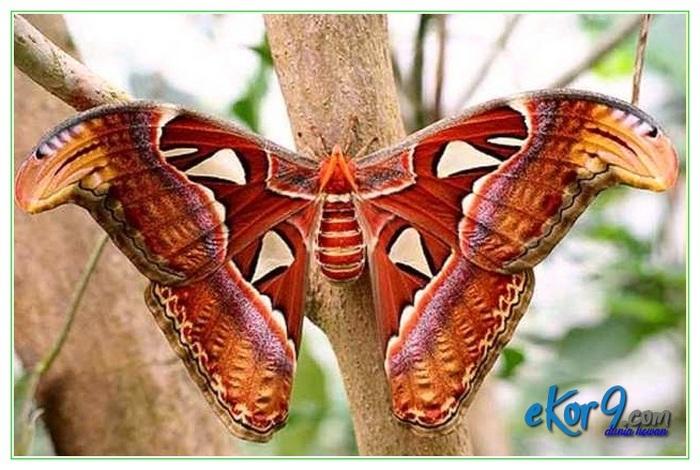 kupu kupu terbesar di dunia, kupu kupu terbesar di indonesia, kupu kupu terbesar dan tercantik di dunia, kupu kupu terbesar dan terindah, kupu kupu terbesar di papua
