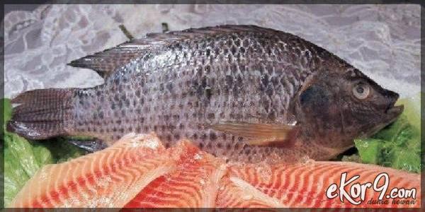 makan ikan nila saat hamil, pakan alami ikan nila, makan ikan nila kecil, makan ikan nila agar cepat besar, makanan ikan nila yg baik, makanan ikan nila supaya cepat besar, makanan ikan nila selain pelet, makanan ikan nila alami, makanan ikan nila agar cepat besar