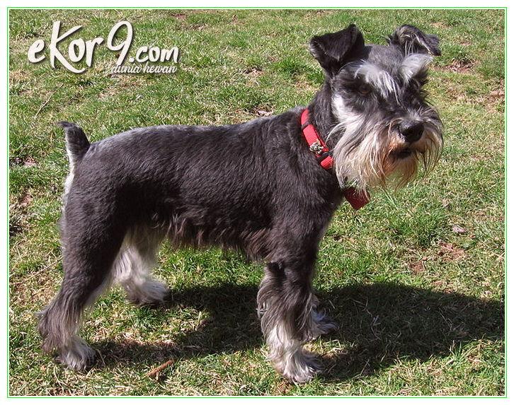 jual anjing miniature schnauzer, jual anjing schnauzer bandung, karakter anjing miniature schnauzer, karakter anjing schnauzer, perawatan anjing miniature schnauzer, sifat anjing mini schnauzer, sifat anjing miniature schnauzer