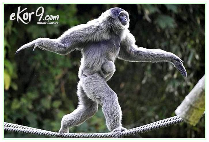 perbedaan antara monyet dan kera, perbedaan bentuk fisik antara monyet dan kera, perbedaan bentuk fisik monyet dan kera, perbedaan fisik monyet dan kera, perbedaan fisik monyet dengan kera, perbedaan monyet dan kera, perbedaan monyet kera, perbedaan monyet kera dan orangutan, perbedaan monyet kera simpanse, perbedaan monyet sama kera, perbezaan monyet kera dan beruk, persamaan monyet dan kera