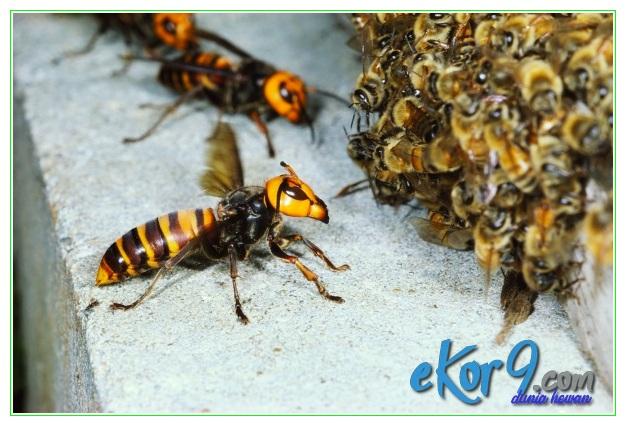 perbedaan lebah dengan tawon, perbedaan lebah tawon, perbedaan lebah tawon dan tabuhan, perbedaan madu tawon dan madu lebah, perbedaan sarang tawon dan lebah, perbedaan sengatan tawon dan lebah, 6 perbedaan tawon dan lebah, perbedaan tawon dan lebah madu, perbedaan tawon dengan lebah, perbedaan tawon lebah, perbedaan tawon sama lebah