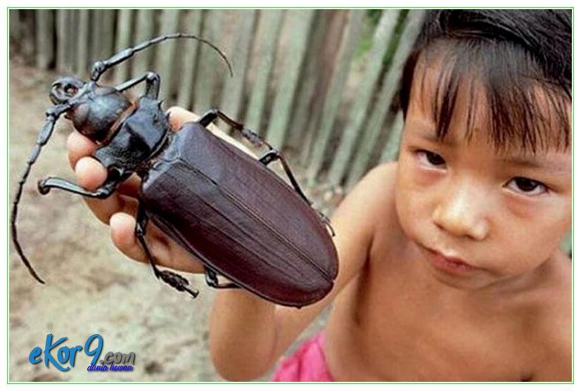 serangga terbesar, serangga terbesar d dunia, serangga terbesar di dunia, serangga terbesar di dunia ditemukan di kalimantan
