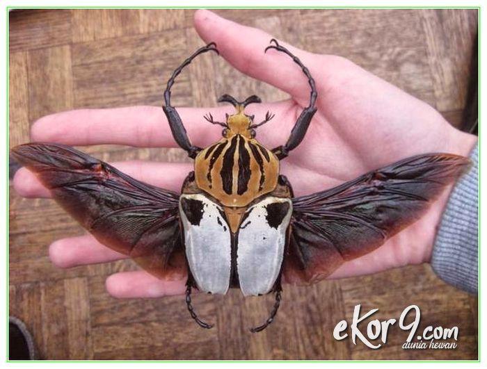 7 serangga terbesar, 7 serangga terbesar di dunia, foto serangga terbesar di dunia, gambar serangga terbesar di dunia