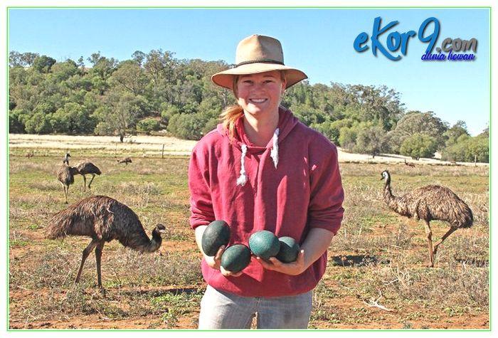 burung emu, burung emu adalah, burung emu di australia, foto burung emu, foto burung kakak tua, gambar burung emu, gambar emut burung, gambar hewan burung emu, harga burung emu, jual burung emu, jual minyak burung emu, makanan burung emu, minyak burung emu, telur burung emu, ternak burung emu warna telur burung emu