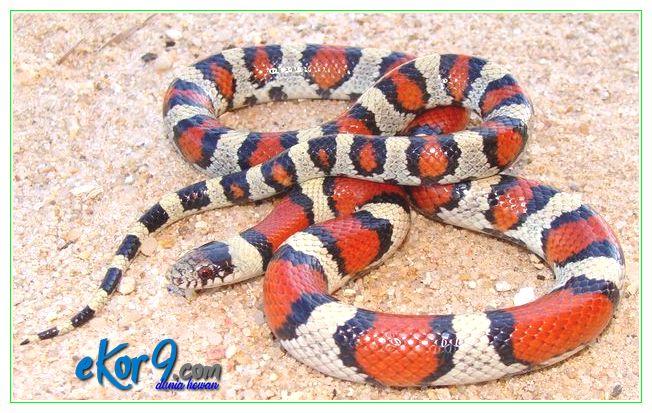 ular peliharaan tidak berbisa, ular peliharaan tidak mau makan, ular peliharaan untuk dijual, ular peliharaan yang jinak