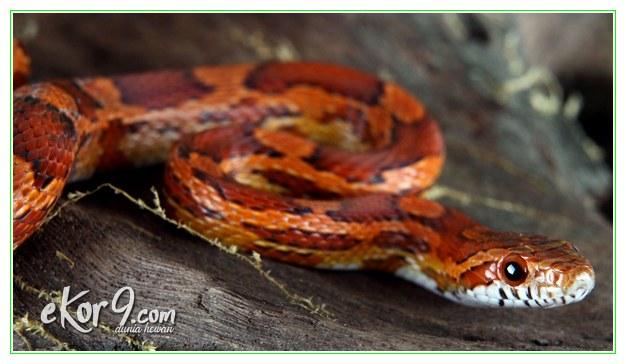 ular peliharaan, ular peliharaan murah, ular peliharaan paling jinak, jenis ular peliharaan yang tidak berbisa, jual ular peliharaan murah, kenapa ular peliharaan tidak mau makan