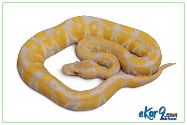 ular peliharaan termahal, ular peliharaan tidak berbisa, ular peliharaan tidak mau makan, ular peliharaan untuk dijual, ular peliharaan yang jinak