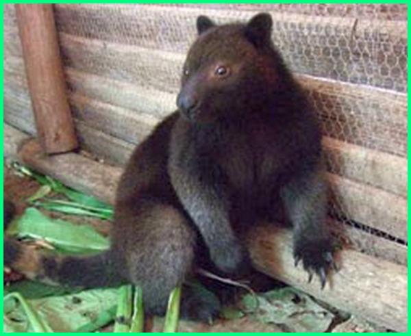 jenis hewan langka di papua, jenis hewan langka dari pulau papua