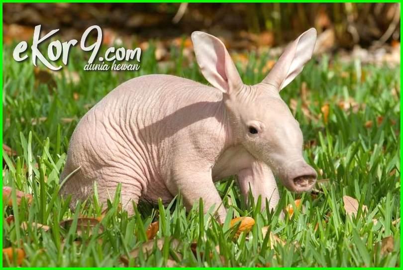 binatang pemakan semut namanya, binatang pemakan semut, binatang pemakan semut 5 huruf, binatang pemakan semut tts 5 huruf, binatang pemakan semut apa, binatang pemakan semut indonesia, binatang pemakan semut huruf terakhir r