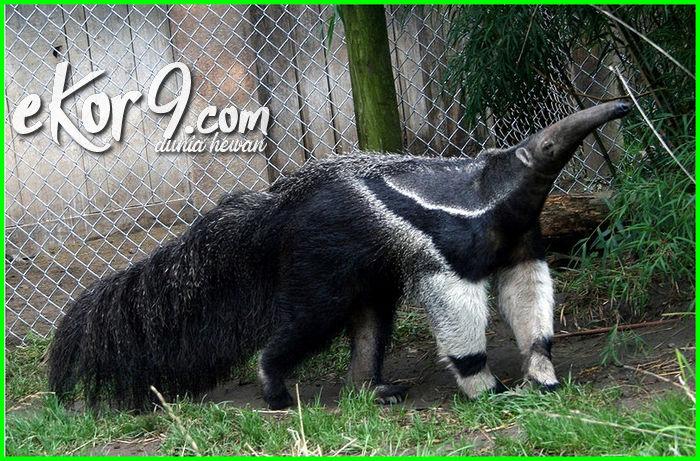 hewan pemakan semut dan rayap, hewan pemakan semut hitam, gambar binatang pemakan semut, pemakan semut raksasa, hewan pemakan semut raksasa