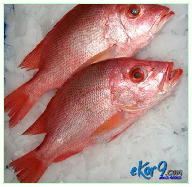 jenis ikan kakap air tawar, jenis ikan kakap cina, jenis ikan kakap di indonesia, jenis ikan kakap laut, jenis ikan kakap putih, jenis ikan kakap sungai, jenis ikan kakap, jenis ikan kakap merah, jenis sisik ikan kakap merah, jenis ikan kakap muara