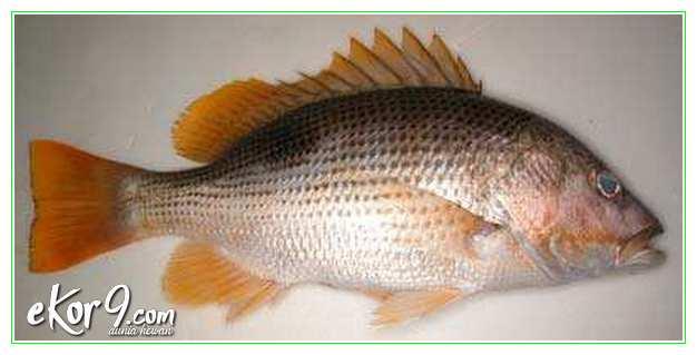 5 Jenis Ikan Kakap Budidaya Dan Gambarnya Dunia Fauna Hewan Binatang Tumbuhan Dunia Fauna Hewan Binatang Tumbuhan