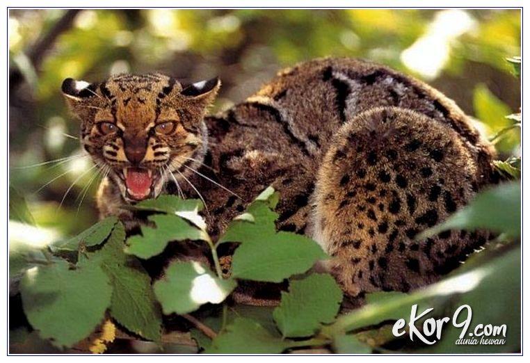 kucing asli indonesia terancam punah, kucing asli indonesia hampir punah, kucing raas asli indonesia, kucing hutan asli indonesia, kucing besar asli indonesia, kucing dari indonesia