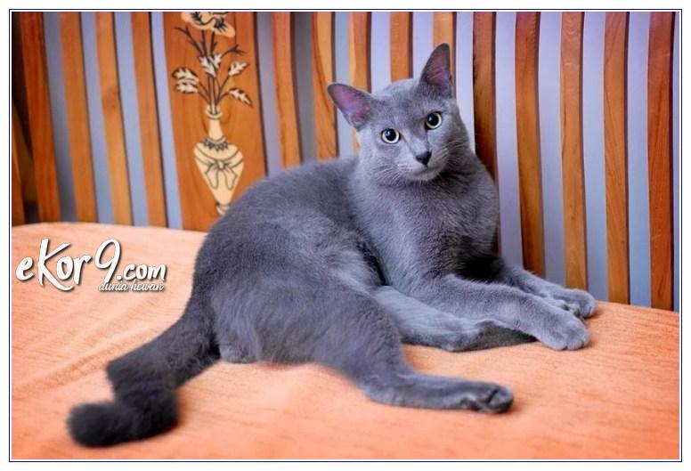 6 Jenis Kucing Peliharaan Ras Asli Indonesia Gak Kalah Keren Loh Dunia Fauna Hewan Binatang Tumbuhan