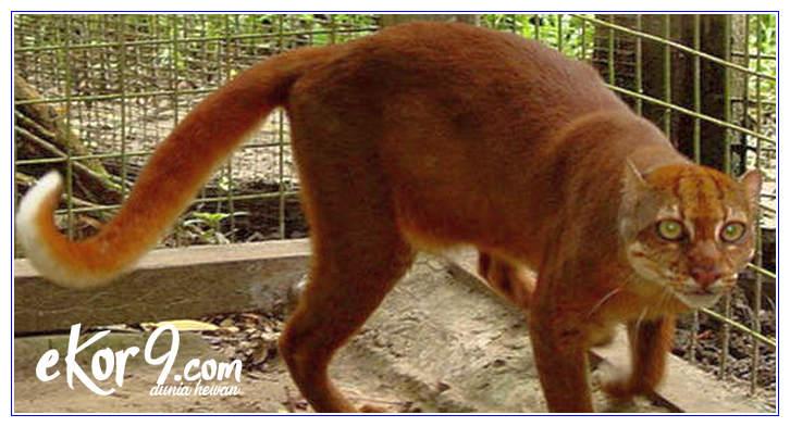 kucing indonesia yang dilindungi, kucing domestik indonesia, kucing khas indonesia, nama kucing indonesia, kucing hutan indonesia, jenis kucing indonesia, kucing asli indonesia yang terancam punah, kucing indonesia termahal