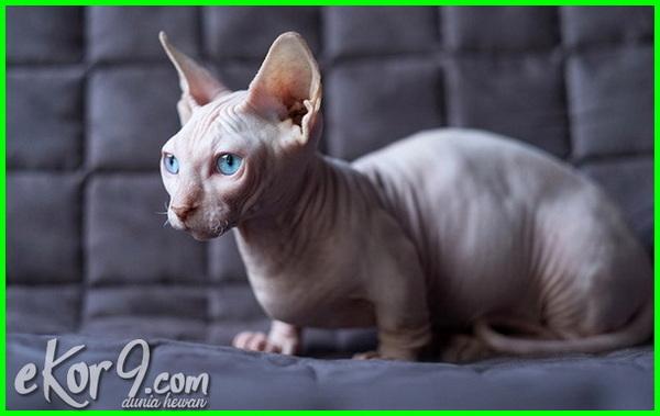 8 Nama Jenis Kucing Tanpa Bulu Dan Gambarnya Dunia Fauna Hewan Binatang Tumbuhan Dunia Fauna Hewan Binatang Tumbuhan