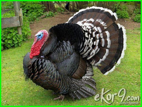 aneka jenis ayam hias, jenis ayam ayam hias, berbagai jenis ayam hias, menjual berbagai jenis ayam hias, berapa jenis ayam hias, jenis ayam hias china, jenis burung hias dan ciri cirinya