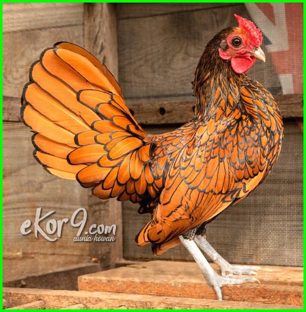 foto jenis ayam hias, nama dan jenis ayam hias, jenis dan gambar ayam hias, jenis dan foto ayam hias, jenis ayam hias ekor panjang, gambar jenis ayam hias, gambar semua jenis ayam hias