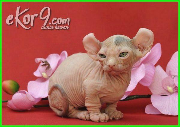 foto kucing tanpa bulu, nama kucing tanpa bulu, ras kucing tanpa bulu, kucing persia tanpa bulu, spesies kucing tanpa bulu, kucing mahal tanpa bulu, apa nama kucing tanpa bulu, gambar kucing tanpa bulu