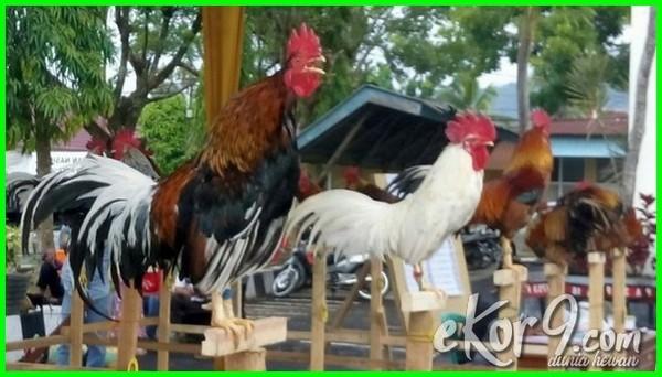 jenis ayam hias dunia, jenis burung hias dan harga, jenis burung hias di indonesia, jenis ayam-ayam hias dan harganya, daftar jenis ayam hias