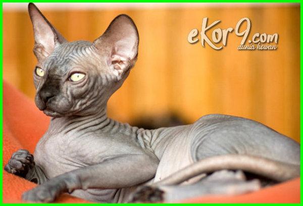 nama jenis kucing tanpa bulu, kucing tanpa bulu luna maya, sejarah kucing tanpa bulu, kucing tanpa bulu, cara mengeringkan bulu kucing tanpa hairdryer, cara membersihkan bulu kucing tanpa mandi, jenis jenis kucing tanpa bulu